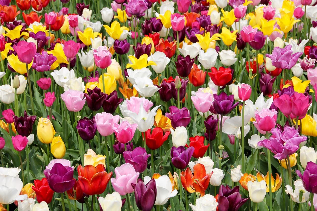 Hoe Nederlands zijn onze symbolen zoals tulpen en klompen eigenlijk?